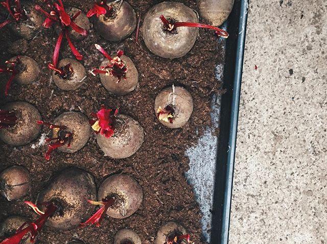 Sprouting beetroot in the dark @blackswan_oldstead.