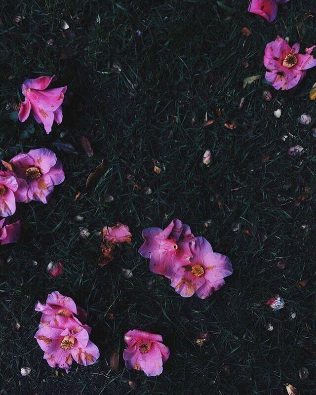 Fallen camellia blooms.